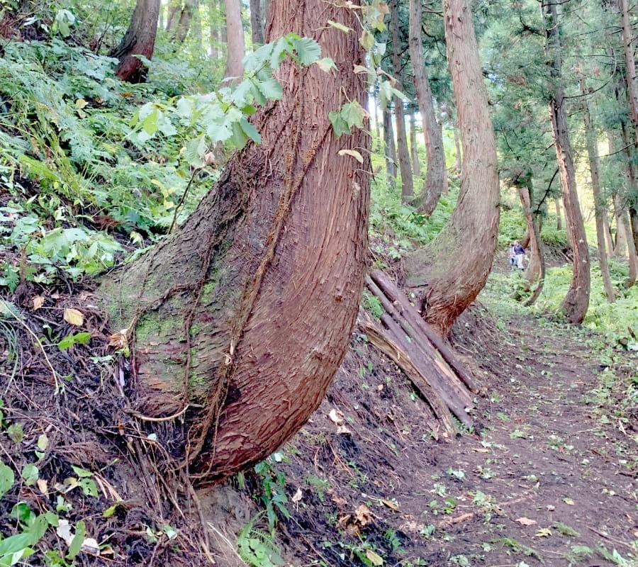 根曲がり杉の写真